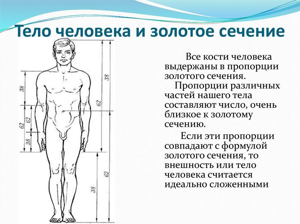 Тело человека и золотое сечение